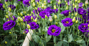 Blooming Lisianthus plants in a greenhouse Stock Images