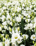 Blooming Lisianthus plants in a greenhouse Stock Photo