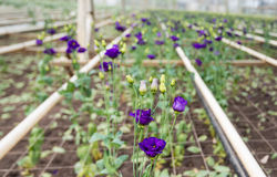 Blooming Lisianthus plants in a greenhouse. Large flower nursery full of purple flowering Lisianthus or Eustoma plants Stock Photos