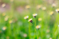 Blooming little meadow flower Stock Images