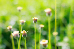 Blooming little meadow flower Royalty Free Stock Photography