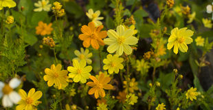 Blooming little yellow meadow flower. Stock Photo