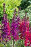 Blooming lobelia flowers stock photos