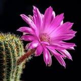 Blooming Lobivia Stock Photo