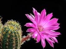 Blooming Lobivia Royalty Free Stock Photography