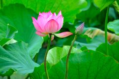 Blooming lotus,companionship and loe. In Chinese Buddhism, the lotus became a symbol of purity. Lotus flowers can usually be in ponds occupied by dirty mud Stock Image