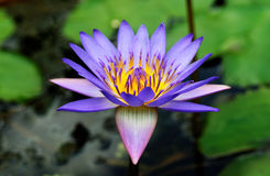 Blooming Lotus Stock Photos