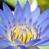 Blooming lotus Royalty Free Stock Image