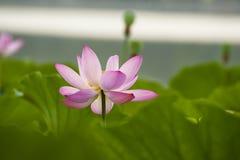 Blooming lotus Royalty Free Stock Images