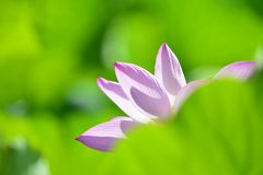 Blooming lotus Stock Photo