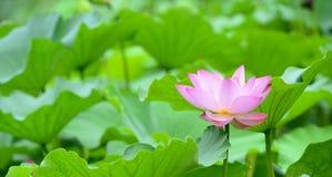 Blooming lotus Stock Photo