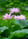 Blooming lotus. Park pond full of lotus Royalty Free Stock Photos