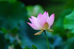 Blooming lotus Royalty Free Stock Photography