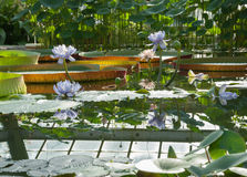 Blooming Lotus on the background of the Amazonian Victoria Royalty Free Stock Image