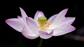 A blooming lotus Stock Images