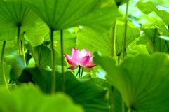Free Blooming Lotus Flower Stock Photo - 3448020