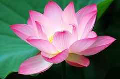 Blooming lotus flower Stock Photos