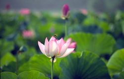 Blooming lotus flower Royalty Free Stock Photography