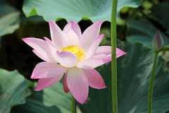 Blooming lotus flower Stock Image