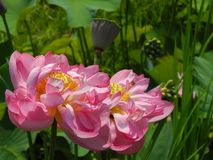 Blooming Lotus Flower with Loose Petals royalty free stock photography