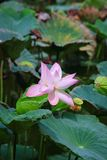 Blooming Lotus flower or Nelumbo nucifera Stock Image
