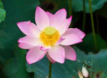 Blooming lotus flower stock photo