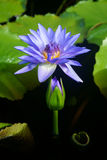 Blooming of a lotus flower on pond Stock Photography