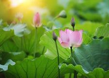Blooming lotus flower Royalty Free Stock Image