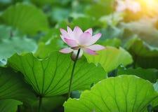 Blooming lotus flower Royalty Free Stock Images