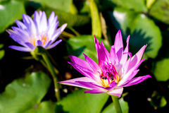 Blooming lotus flower in pond Royalty Free Stock Photography