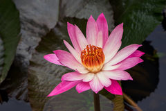 Blooming lotus. Lotus flower in the pond at public park royalty free stock photography
