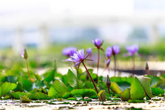 Blooming lotus with green leaves in lake. Blooming purple lotus with green leaves in lake stock image