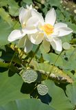 Blooming lotus and its seed pods Stock Image
