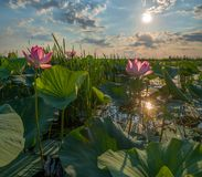 Blooming lotus. A large flower. Summer dawn. royalty free stock image