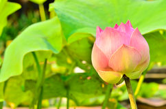 Blooming lotus in morning light. Royalty Free Stock Image