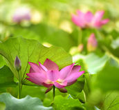Blooming lotus Stock Photography