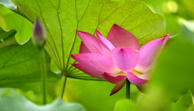 Blooming lotus Stock Images