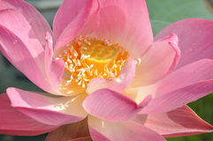 Blooming lotus Royalty Free Stock Images