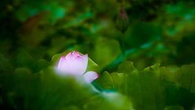 Blooming lotus. In shanghai Royalty Free Stock Photo
