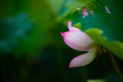 Blooming lotus. In shanghai Stock Photography