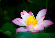Blooming lotus. In shanghai Stock Photos