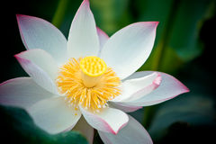 Blooming lotus. In shanghai Royalty Free Stock Photography
