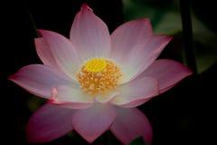 Blooming lotus. In shanghai Royalty Free Stock Photos