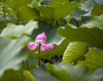 The blooming lotus Royalty Free Stock Photo