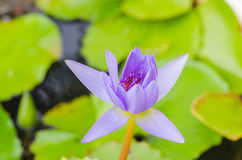 Blooming lotus water lily Royalty Free Stock Photography