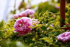 Blooming Luoyang peony bush. Sunshine on blooming Luoyang peony bush in garden stock photos