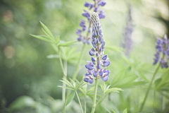 Blooming lupine Royalty Free Stock Photos