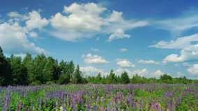 Blooming lupine flowers Stock Image
