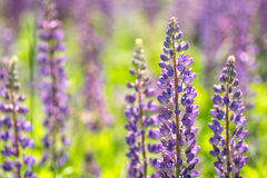Blooming lupine flowers. A field of lupines. Sunlight shines on plants. Stock Photography