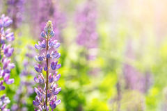 Blooming lupine flowers. A field of lupines. Sunlight shines on plants. Stock Image